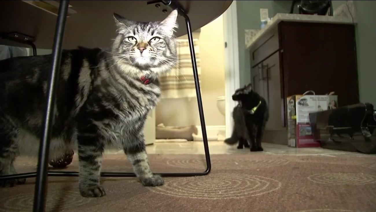 Gatos viven solos en departamento de USD 1.500 al mes
