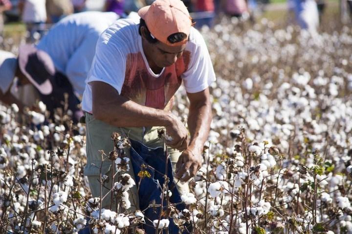 Desarrollaron el concurso de cosecha manual del algodón en La Vertiente | RegiónNet