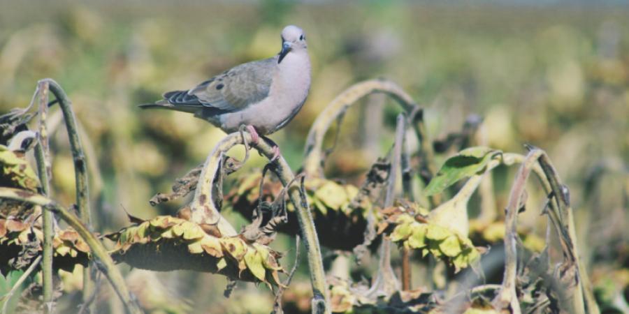 Ataques de palomas y cotorras a cultivares de girasol y maíz temprano