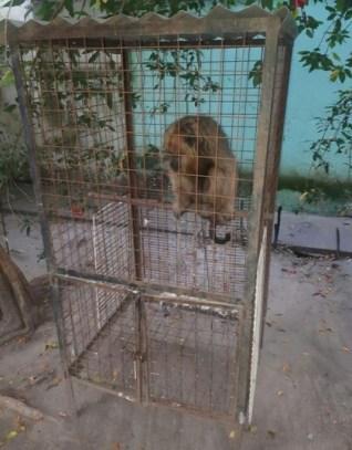 Rescataron un mono carayá que se había metido en un colegio de Villa Ocampo