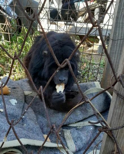 Rescataron un mono carayá en la ciudad de Villa Ocampo