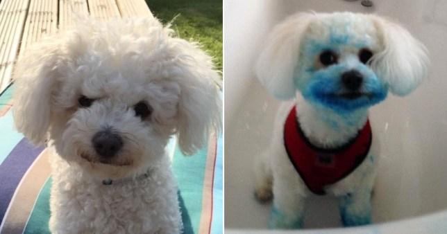 Perro se vuelve azul después de masticar accidentalmente un cartucho de tinta