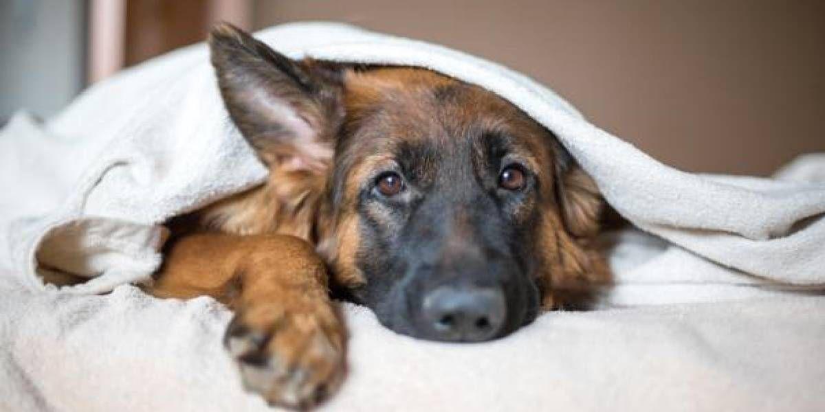 Los perros también se pueden resfriar: cuáles son los síntomas y cómo curarlos