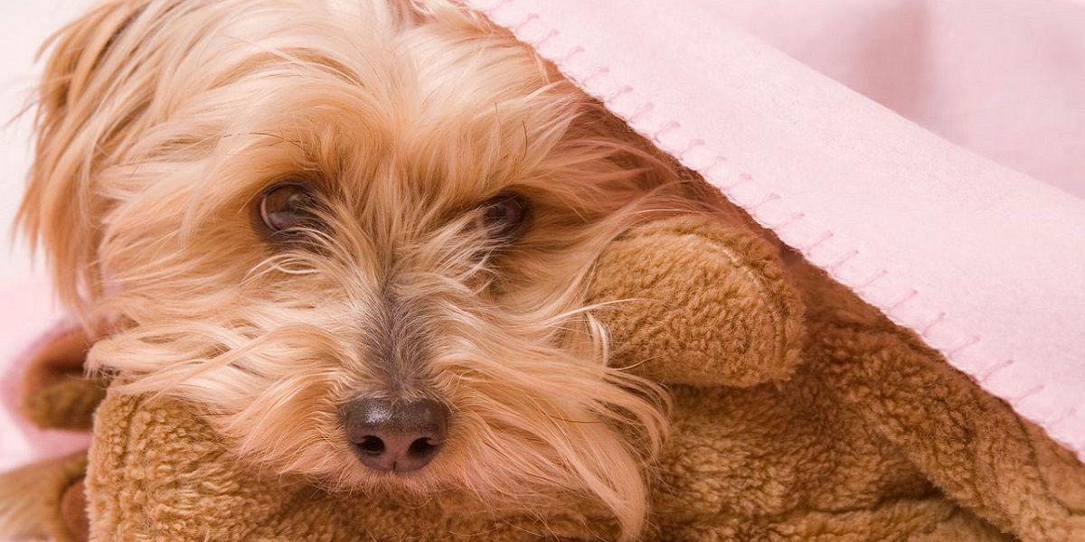 Cómo detectar y por qué sucede el embarazo psicológico en las perras