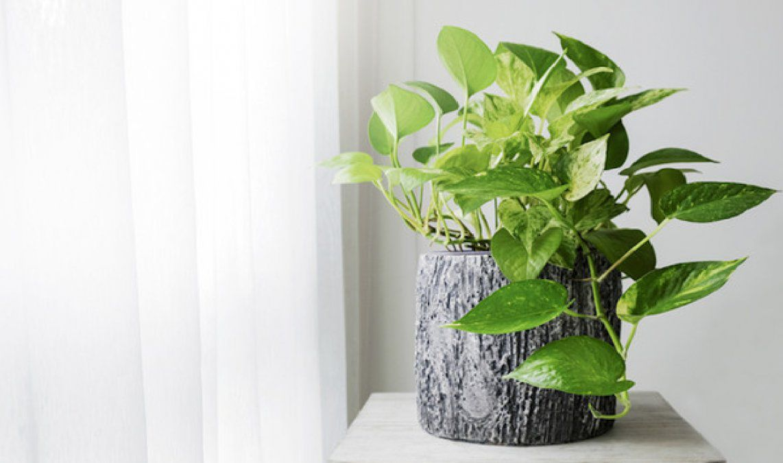 Cómo reproducir potus y otras plantas comunes de interiores fácilmente